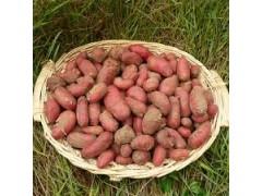 Pommes de terre Rubis