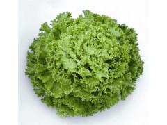 Salade Batavia d'abri